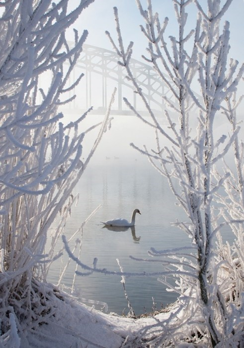 swan,cityscape,winter,lake