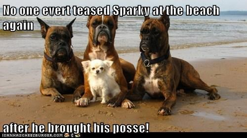 teasing dogs posse beach boxers chihuahua - 6993622528
