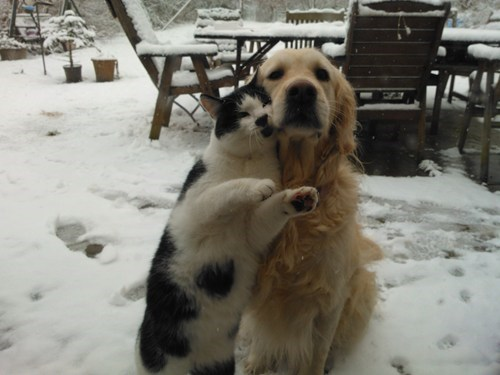 dogs,snow,outside,kittehs r owr friends,winter,golden retriever,Cats