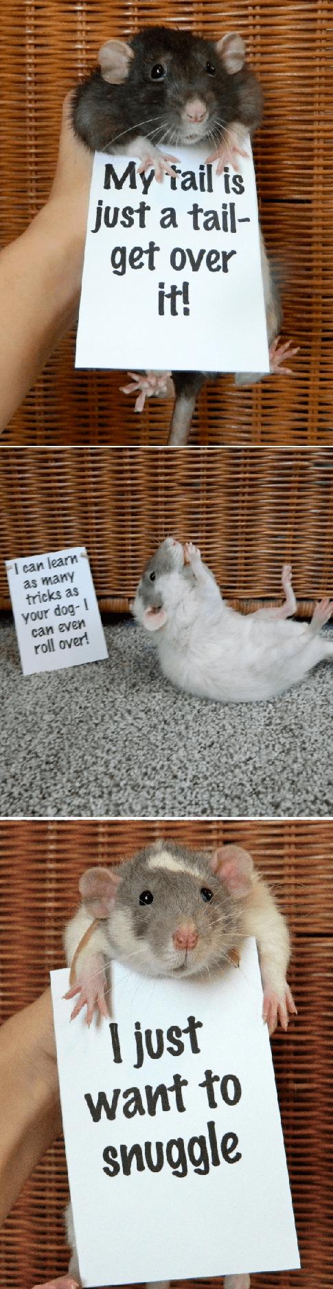 rats pets psa rodent love - 6994076672