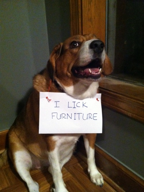 furniture,sign,dogs,lick,dog shaming