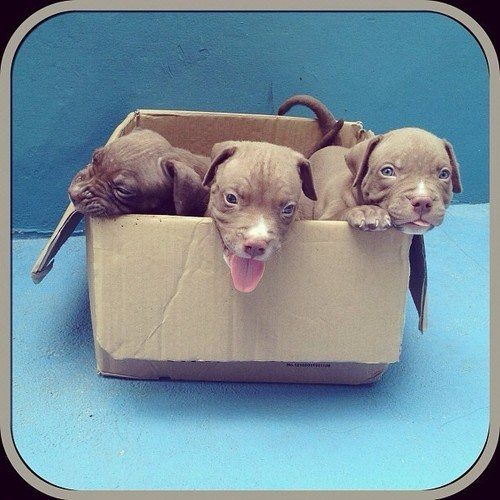 dogs,pitbulls,boxes,puppies cyoot puppy ob teh day