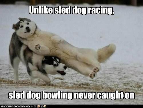 malamutes dogs snow falling bowling huskies - 6995111936