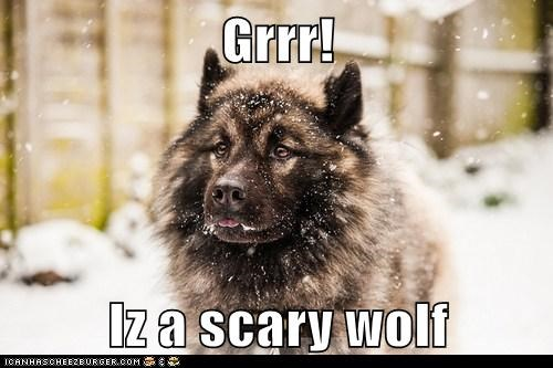 grr dogs snow what breed wolf - 6995114496