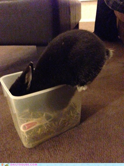 Very cute 'squee' worthy picture of an adorable rabbit climbing into the plastic container that has his food because he too eager to wait for it.