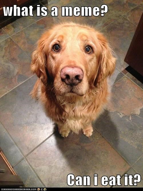 dogs Memes begging food eating golden retrievers
