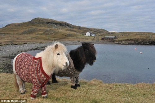 scotland shetland ponies sweater Photo cardigans horses - 6996887040