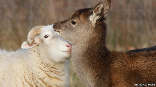 Interspecies Love,herd,red deer,adopted,deer,sheep,squee