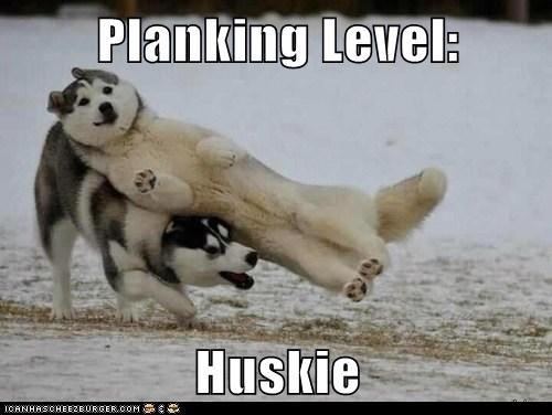 dogs Planking snow Memes huskies - 6998131456