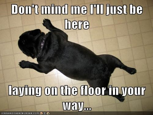 laying down dogs floor in the way pugs - 7000273920