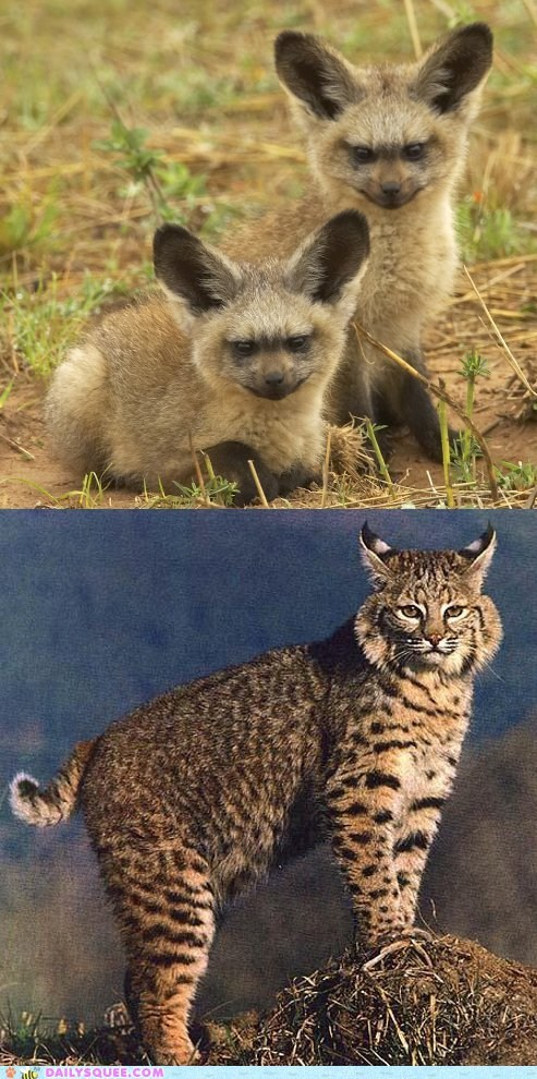 poll versus bat eared fox bobcat face off squee spree squee