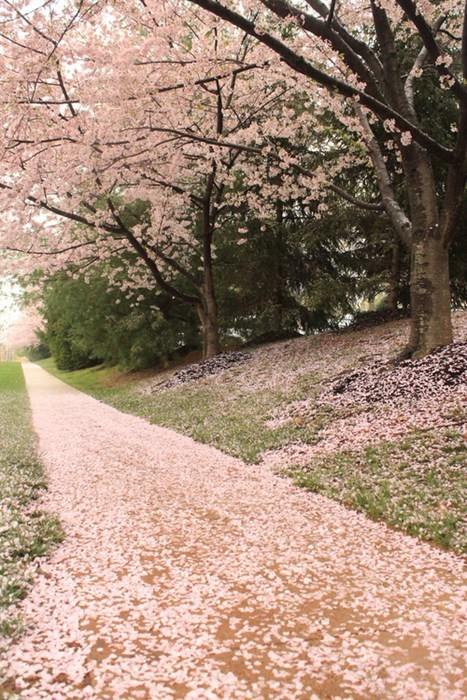 park path cherry blossoms