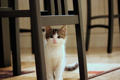chair,cyoot kitteh of teh day,table,kitten,dining room,Cats