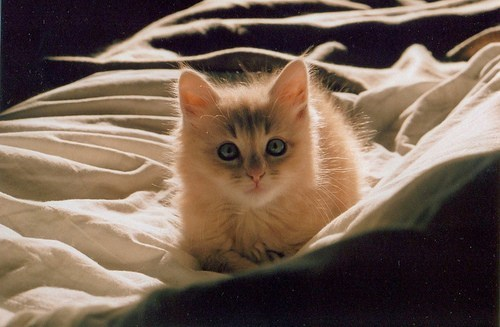 cyoot kitteh of teh day sheets kitten stare Cats