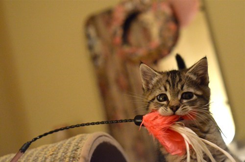 cyoot kitteh of teh day toy catch kitten feather play Cats