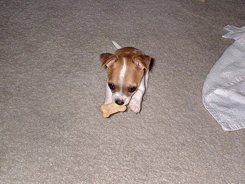 dogs bone puppy tiny treat what breed cyoot puppy ob teh day - 7000634368