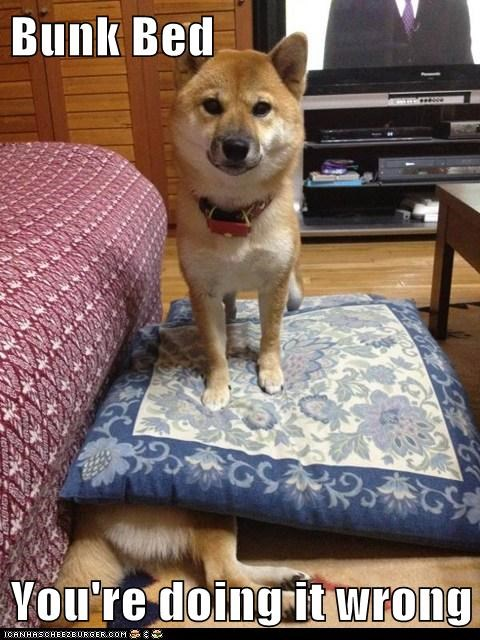 dogs,bunk beds,pillows,standing on head,shiba inus