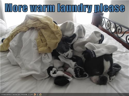 laundry buried dogs boston terriers socks chores