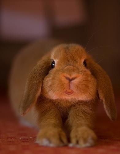 Bunday,tongue,rabbit,stretching,bunny,squee