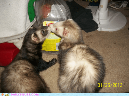 reader squee pets ferrets kissing squee - 7005366784