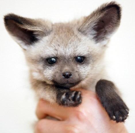 poll results bat eared fox winner squee spree squee - 7013422592
