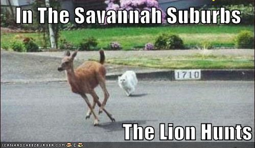 In The Savannah Suburbs The Lion Hunts