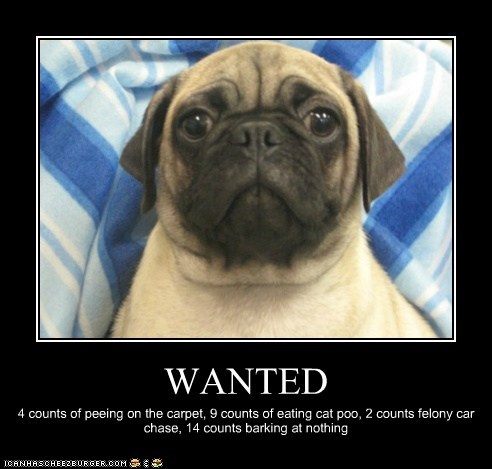 wanted,dogs,criminals,pugs,in trouble