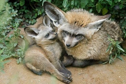 Babies squished fox bat eared fox mommy squee spree squee