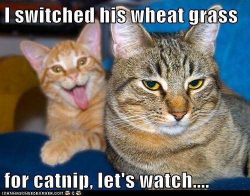 I switched his wheat grass  for catnip, let's watch....