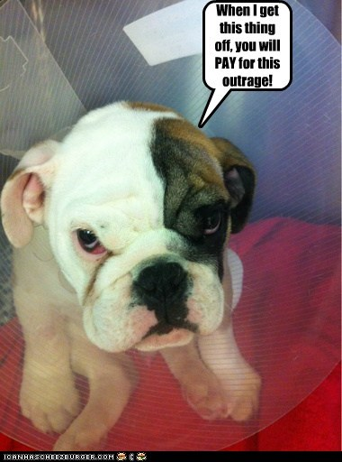 dogs,bulldog,puppies,revenge,cone of shame,angry