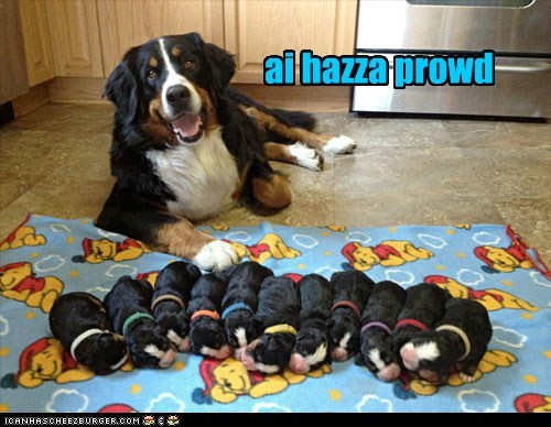 dogs,bernese mountain dog,puppies,mama,newborns,proud