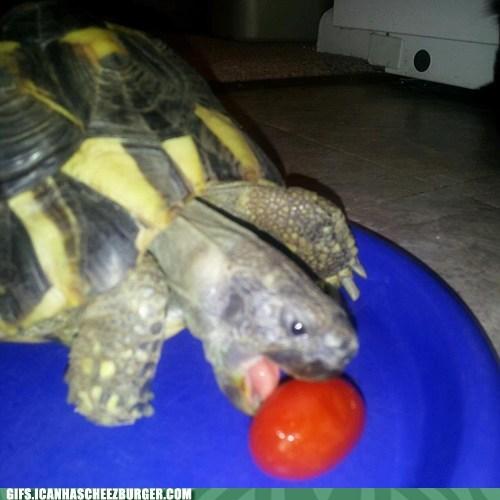 come here stupid tomato