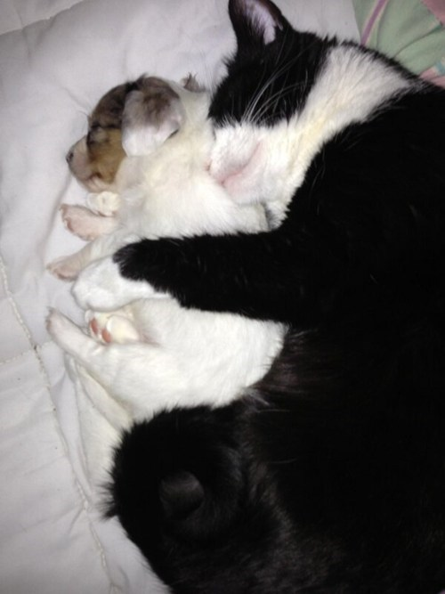Cats dogs cuddling puppies kitten kittehs r owr friends spooning - 7016927232