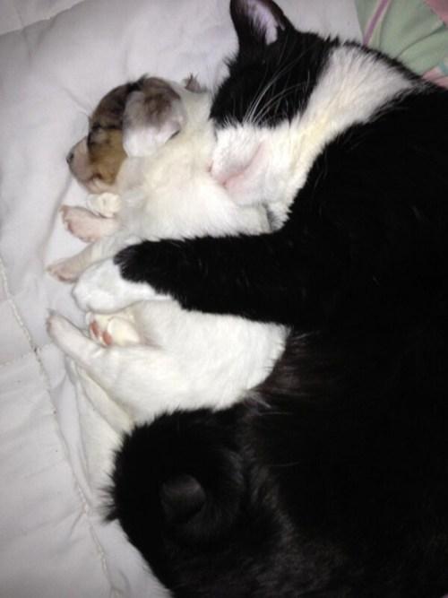 Cats dogs cuddling puppies kitten kittehs r owr friends spooning - 7016927232