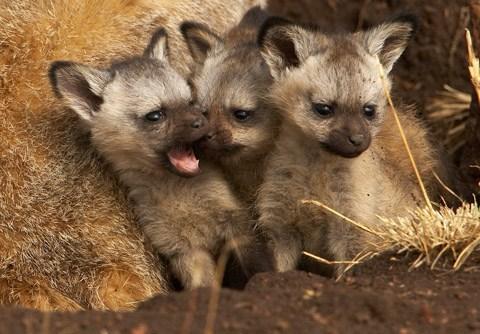 Babies fox squee spree squee squeaker bat eared fox - 7017008384
