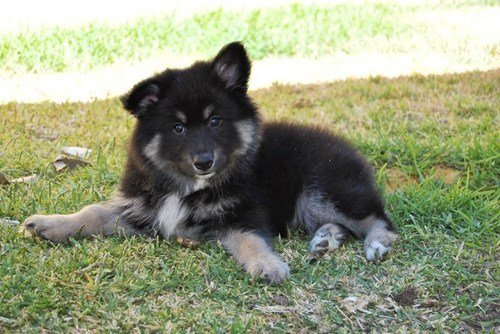 dogs,cyoot puppy ob teh day,Fluffy,puppies,finnish lapphund
