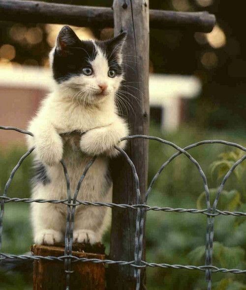 Cats cyoot kitteh of teh day kitten fence peek watch
