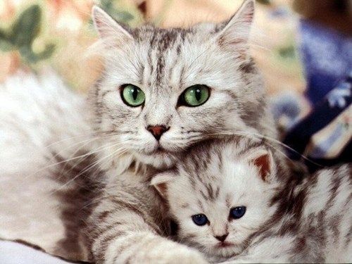 Cats,cyoot kitteh of teh day,kitten,mom,mother