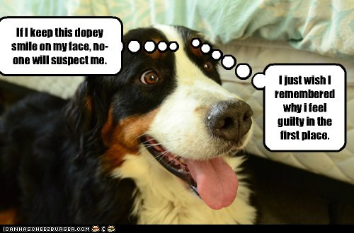 dogs,bernese mountain dog,in trouble,forgot,guilty