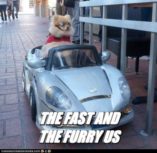 dogs cars driving pomeranians the fast and the furious