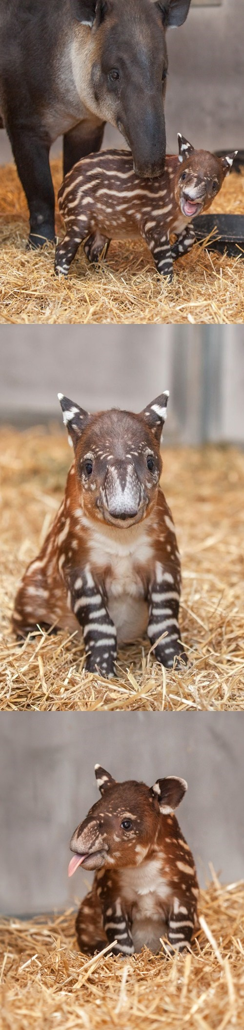photoset,baby,cute,tapir,squee