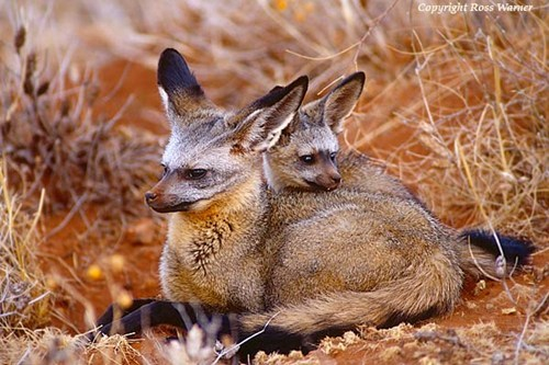 foxes Babies africa savanna bat eared fox mommy squee spree squee