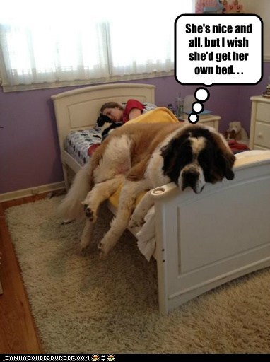 dogs,bed,sharing,st bernard