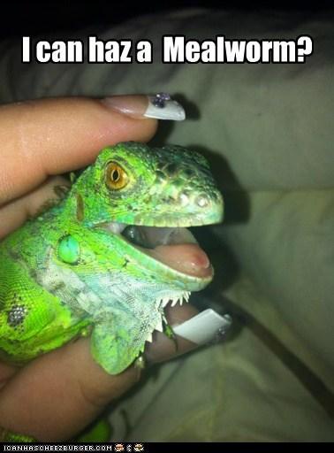 i can has lizard iguanas - 7021397760