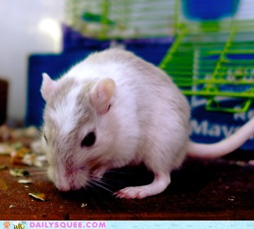 reader squee pets gerbils noms squee - 7021936128