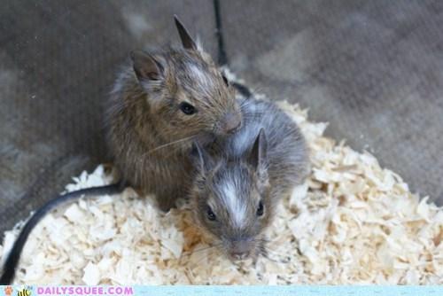 Babies reader squee pets squee degu - 7022438400