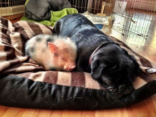 Interspecies Love pig cuddles piglet dogs squee - 7022828288