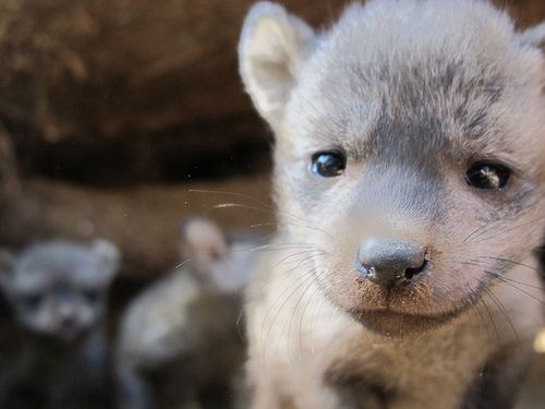 foxes Babies bye bat eared fox close up squee spree squee - 7022861312