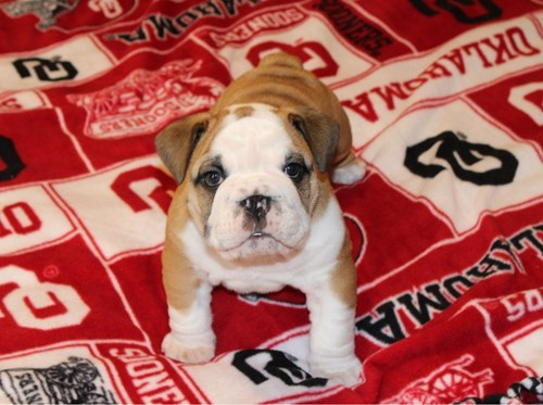 dogs english bulldogs puppies cyoot puppy ob teh day - 7023246336