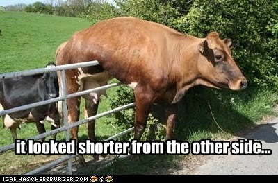 fence stuck looked cows short - 7023557888
